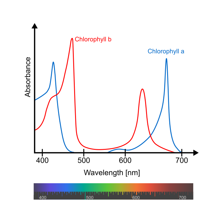 Understanding the absorbance spectrum of chlorophyll is important when considering cannabis cultivation lighting.