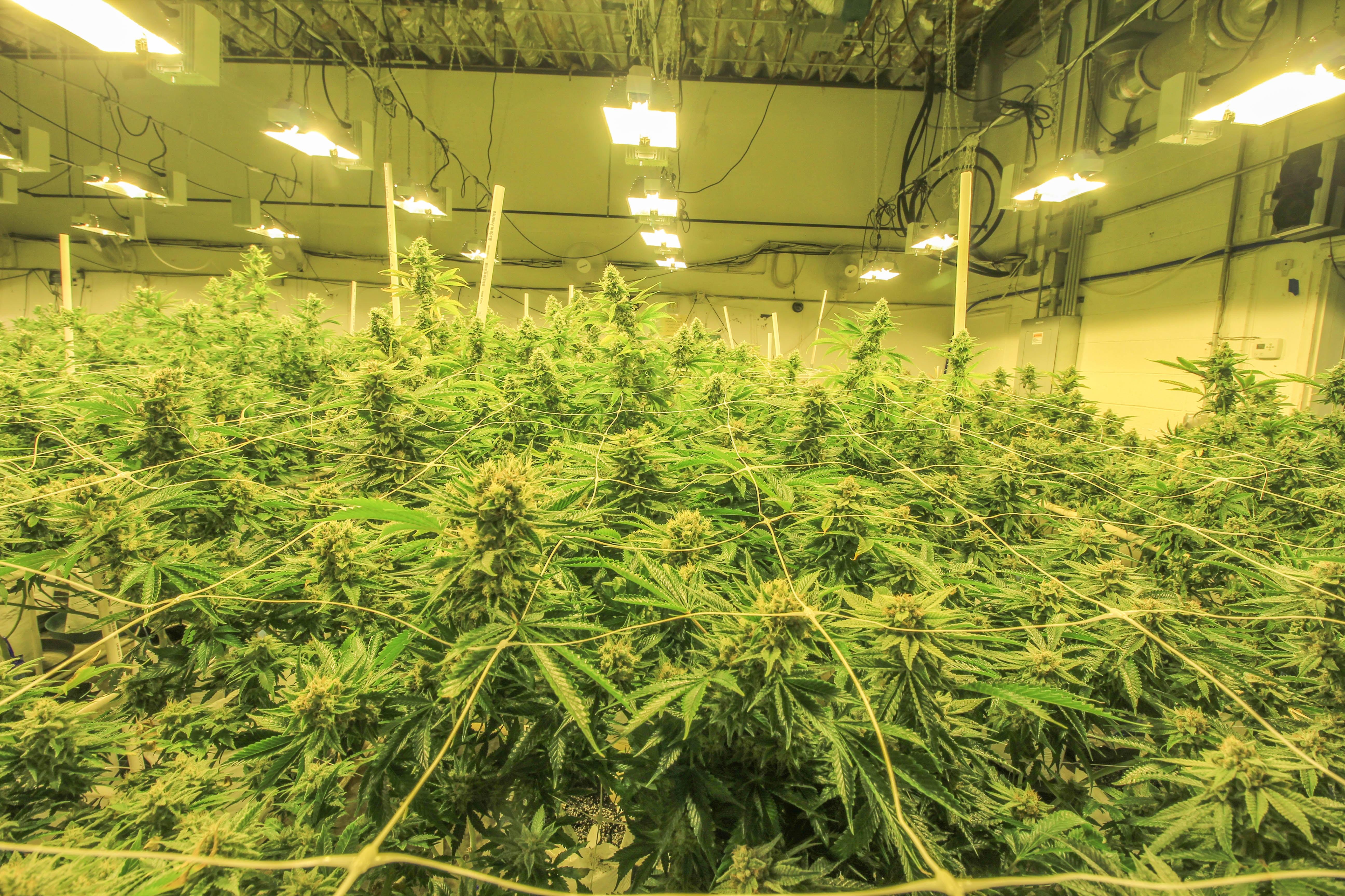 commercial grow room cannabis lighting LED vs HPS