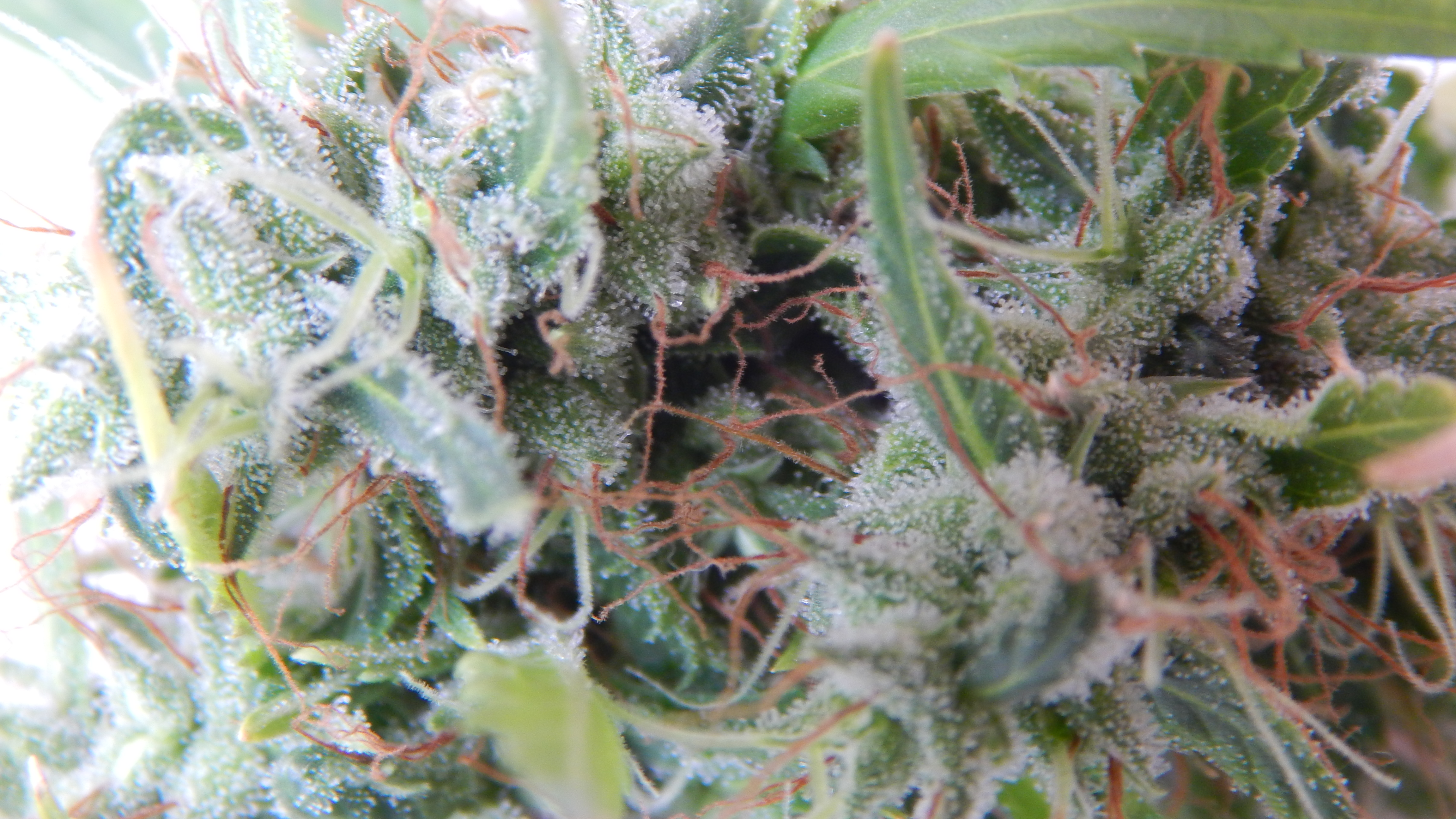 Terpene extraction start with the trichomes, which contain cannabinoids and terpenes give cannabis buds a frosty appearance.