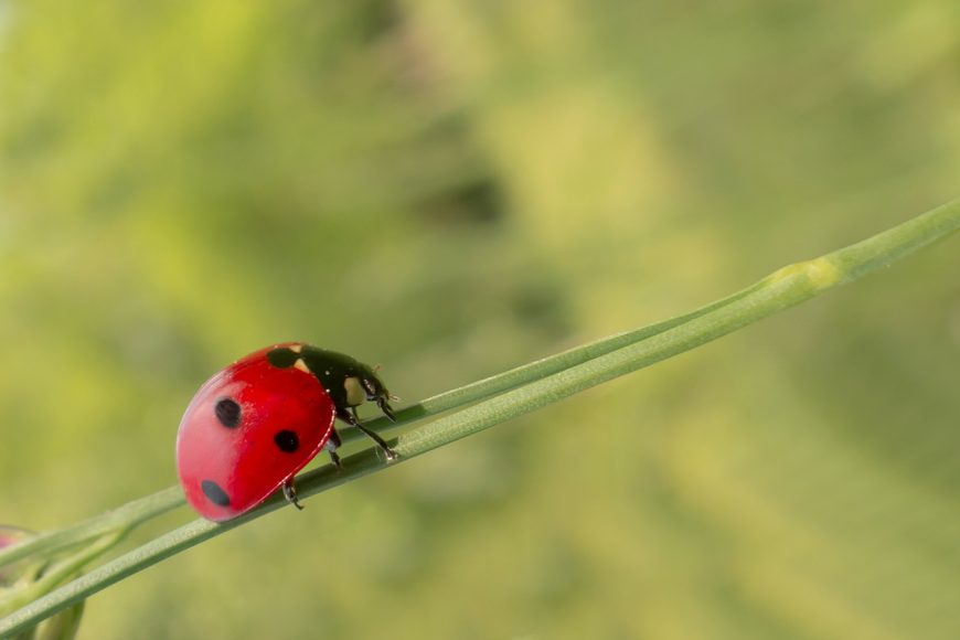 Lady bugs can be used for natural pest management