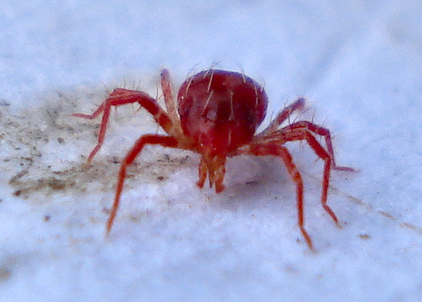 GrowerIQ's Guide to IPM: Cannabis Spider Mites - Tetranychus urticae