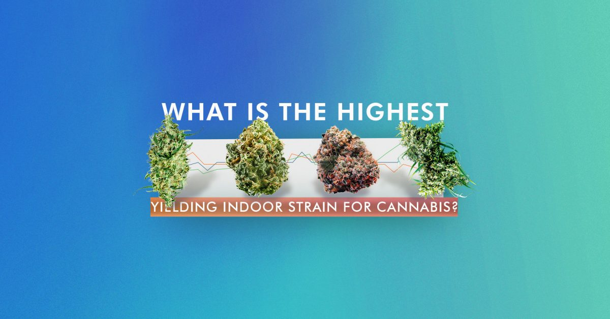 Highest Yielding Indoor Strain
